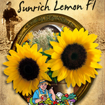 Sunflower annuus Sunrich Lemon F1