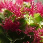Salad Burnet – Small Pimpernel (Sanguisorba minor)