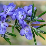 Rosemary (Container Plant)