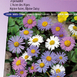 Alpine Aster of Daisy, Largeflowered Hybrids
