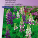 Lupin annual Giantflowered Mix - Lupinus