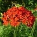 Burning love (Lychnis chalcedonica) Pot plant