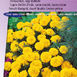 Marigold, French dwarf double Petite (Lemon Yellow) - Tagetes