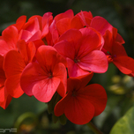 Geranium, Garden or Bedding F2 Scarlet (Six-pack)