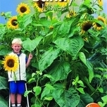 Sunflower - King Kong
