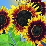 Sunflower - Helianthus Ann. Dwarf Single Sunspot
