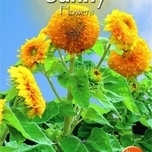 Sunflower - Sungold