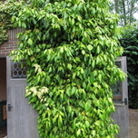 English Ivy (Hedera Goldchild) Pot plant