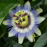 Passiflora Edulis (Passion Flower)