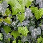 English Ivy (Hedera Hibernica) Pot plant