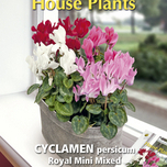 House Plants Cyclamen Royal mini mix