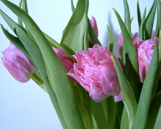 1240564324Tulipa_double_flower_box.jpg