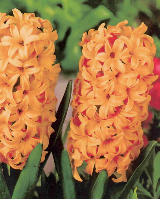 Hyacinth Gipsy Queen For Sale Buy Online For Only 163 3 99