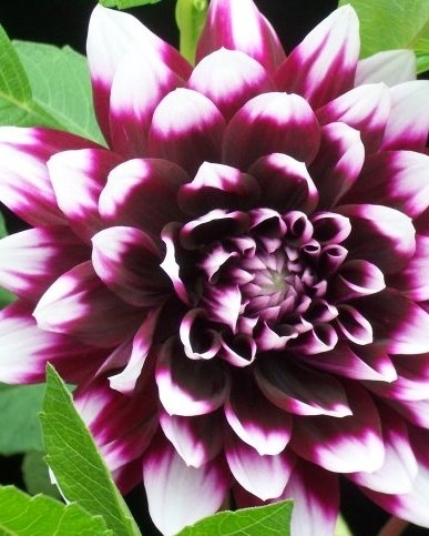 Dahlia Decorative Mistery Day For Sale Buy Online For