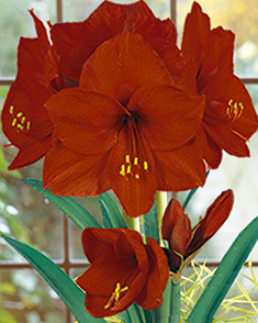 Amaryllis carmen for sale buy online for only for Amaryllis planter bulbe