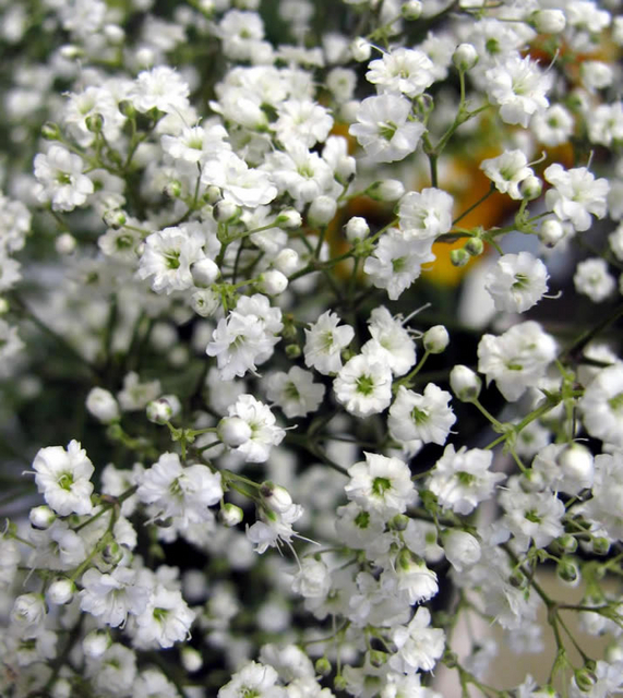 Gypsophila Paniculata For Sale Buy Online For Only 163 1 99