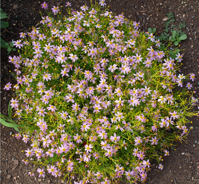 Lanceleaf tickseed 39 american dream 39 coreopsis rosea for for Dream plants for the natural garden