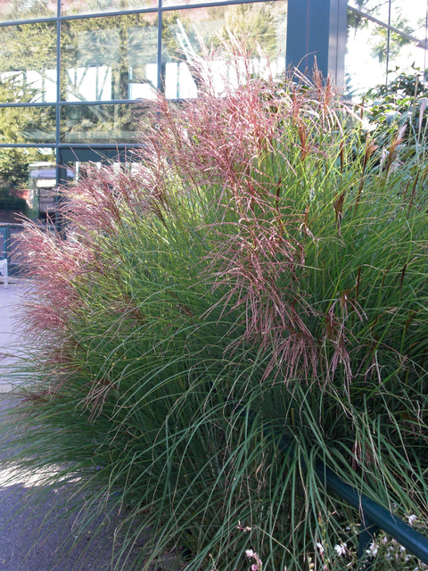 Chinese Silver Grass 'Gracillimus' (Miscanthus) for sale