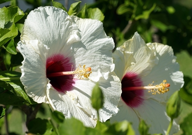Rose Mallow Red Heart For Sale Buy Online For Only 1199