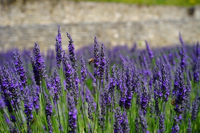 lavender dwarf blue lavandula angustifolia for sale. Black Bedroom Furniture Sets. Home Design Ideas