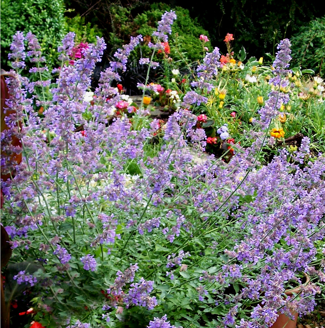 catmint 39 six hills giant 39 nepeta faassenii six pack for sale buy online for only. Black Bedroom Furniture Sets. Home Design Ideas