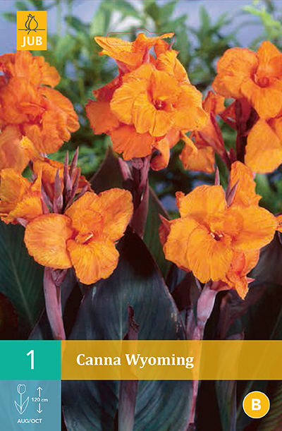 Canna Wyoming Orange For Sale Buy Online For Only 1 99