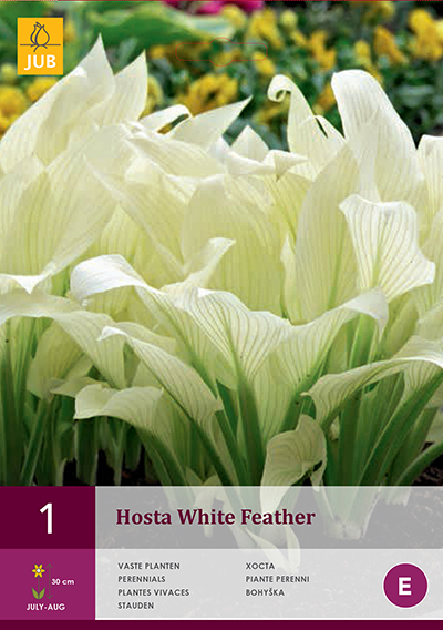 Hosta White Feather For Sale Buy Online For Only 299