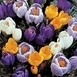 Crocus Mixed (Large Flowering XL Pack)
