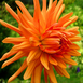 Dahlia Cactus Orange