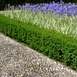 Boxwood hedge 1 meter (Six-pack)