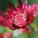 Masterwort - Astrantia Major Lars (Container Plant)