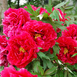 Peony Red Flowering (Pot Plant)