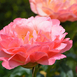 Peony Pink Flowering (Pot Plant)