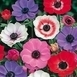 Anemone de Caen Mix (Large Pack)