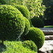 Boxwood 30 cm high incl. container
