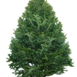 Christmas Tree Nordmann 150-180cm