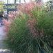 Chinese Silver Grass Gracillimus - Miscanthus (Six-pack)