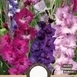 Gladiolus Purple Mix