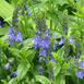 Austrian Speedwell 'Royal Blue' - Veronica Austriaca