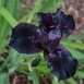 Iris Germanica 'Black Knight' (Bearded Iris)
