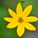 Coreopsis Verticillata Moonbeam - Tickseed