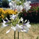 Agapanthus 'Twister' - Cape Lily