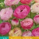 Ranunculus Pastel Mix – Persian Buttercup