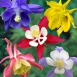 Aquilegia Mix - Columbine (Six-pack)