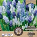 Muscari Mix (Large Pack) - Grape Hyacinth