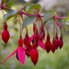 Fuchsia Magellanica Mrs. Popple – Hummingbird Fuchsia (Three-pack)