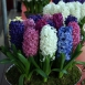 Hyacinthus Fantasy Mix  - Hyacinth