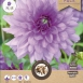 Dahlia Decorative Blue Boy