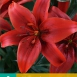 Asiatic Lilies Red