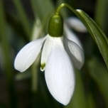 Greater Snowdrop